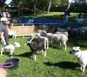 Pet Lambs on Pet Day 2015 2 opt