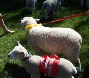Pet Lambs on Pet Day 2015 6 opt