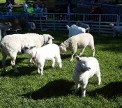 Pet Lambs on Pet Day 2015 opt
